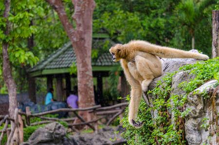Gibbon sitting on rock  in zoo Stock Photo