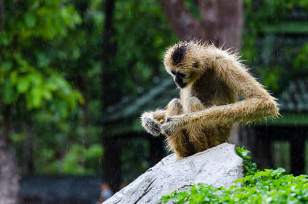 Gibbon walk on rock in nature