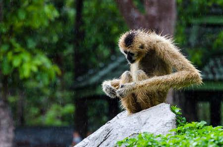 biped: Gibbon walk on rock in nature