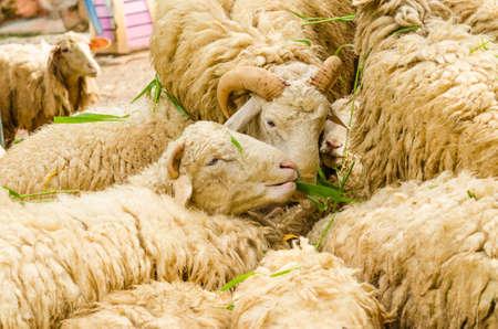 maternal: Sheep in farm eat grass