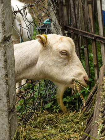 kiddy: Goat kiddy stay in corral eatting grass Stock Photo