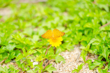 Yellow meadow flower on green grass natural background