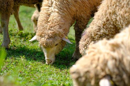 Sheeps in farmland eating meadow
