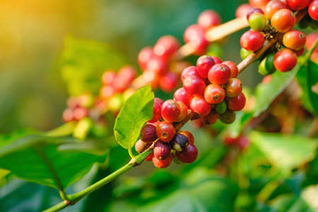 Coffee bean fresh on tree in farm and sunlight effect color Stock Photo