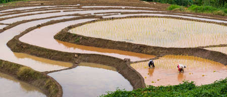 Farmers are planting rice in the farm with copy space ,working in mountains
