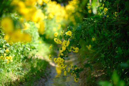 Yellow Chrysanthemum flowers bloom in the plot Zdjęcie Seryjne