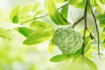 Close up custard apple and leaf on blurred background,Fruit and copy space