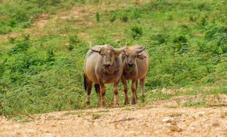 Buffalo standing and chewing grass Stockfoto - 130040639