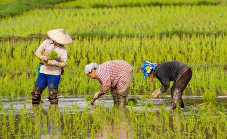 CHIANGMAI, TAILANDIA-2 AGOSTO 2019 :Gli agricoltori stanno piantando riso nell'azienda agricola