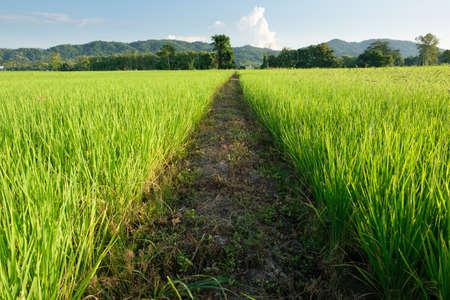 Pathway in the rice fields Stock fotó