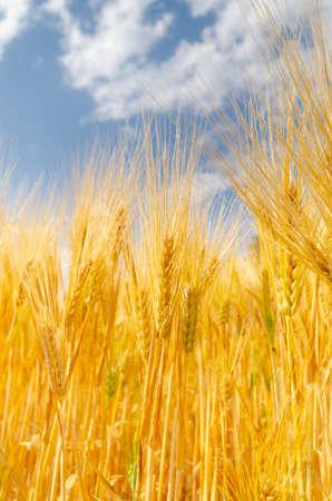 Ear barley and blue sky