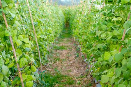 Close-up of green bean garden Reklamní fotografie