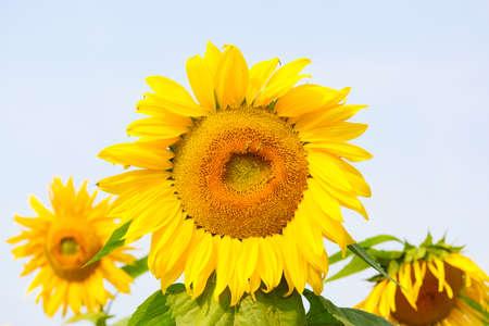 Sunflower with Bud Sunflower Blossom.Organic Farming nature concept