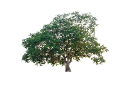 Tree in  white background   .Fig trees  many years old.The tree  large green leaves.
