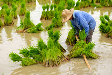 Farmer is preparing a small rice plant to field.paddy rice.Men working outdoors.