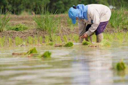 Female farmer wearing blue hat, planting rice on rice field.People wearing gray long-sleeved shirts and wearing rubber gloves are working.transplant rice seedlings. Imagens