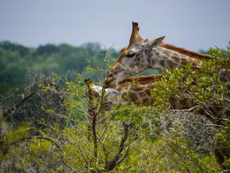 Two South African giraffes eating fresh leafs from a tree in Kruger Nationalpark