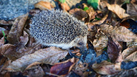 Little hedgehog foraging in the foliage Stock Photo - 110273996