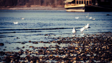 Seagulls on the edge of the Rhine river on a tranquil day in autumn