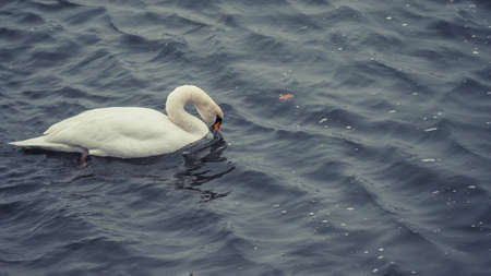 Cute Swan on the Rhine river in Bonn