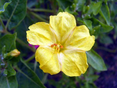 mirabilis: Yellow Mirabilis Stock Photo