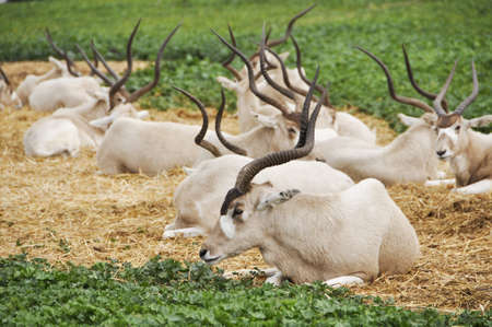 Antelope in a zoo safari in Israel  photo