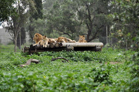 Lions resting in a zoo safari in Israel Stock Photo - 8657639