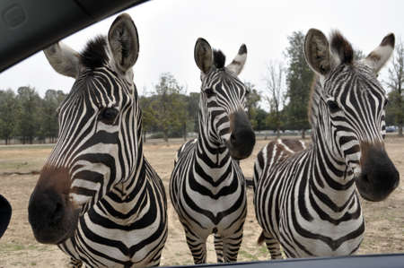 herbivorous animals: Zebras at the zoo in Ramat Gan Safari Stock Photo