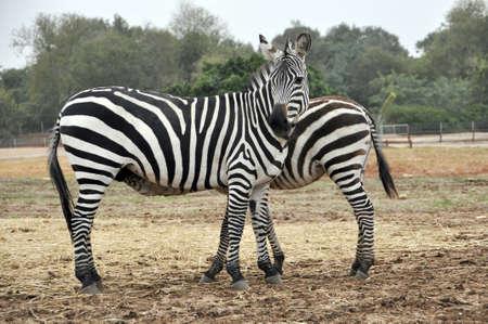 Zebras at the zoo in Ramat Gan Safari photo