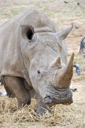 Rhinoceros in the zoo in Ramat Gan Safari photo
