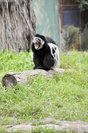 A monkey in a zoo in Ramat Gan Safari Stock Photo - 8657153