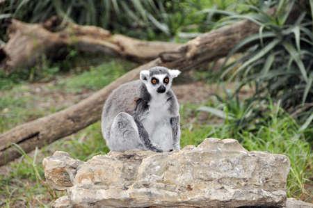 A monkey in a zoo in Ramat Gan Safari photo