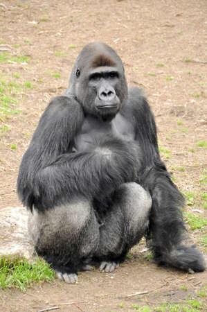 A monkey in a zoo in Ramat Gan Safari Stock Photo - 8654062