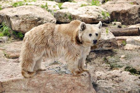 Bear in a zoo in Ramat Gan Safari photo