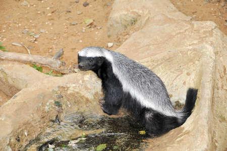 stinktier: Skunk in einem Zoo in Ramat Gan-Safari Lizenzfreie Bilder