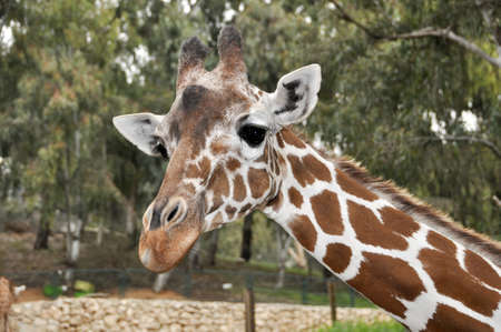 Giraffe in a zoo in Ramat Gan Safari photo