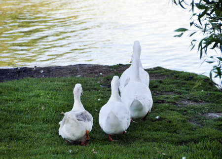 Ducks on the lake in a park in Israel, the Yarkon Stock Photo - 8655978