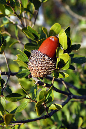 Brown acorn with a hat on a background of leaves