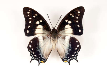 Dried unfolding of a butterfly on a white background photo