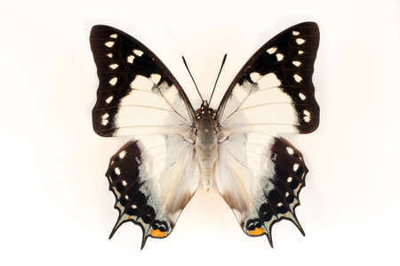 black and blue butterfly flying: Dried unfolding of a butterfly on a white background Stock Photo