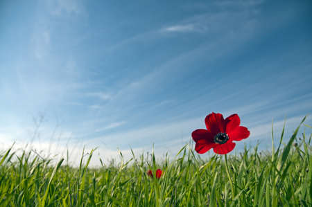 red poppies on a background of grass and sky Imagens