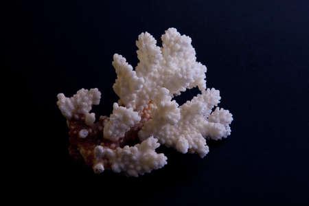 sprig of coral on a black background