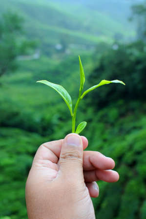 A hand holding tea leaf on tea farm background Stock Photo - 8706330