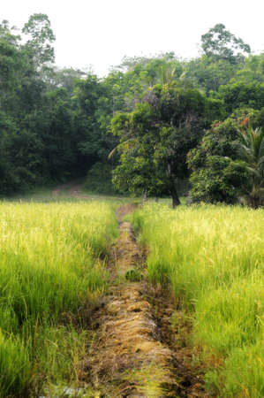 Small village road in the center of paddy field photo