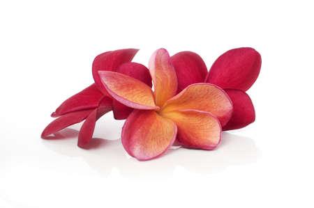 Beautiful red frangipani flowers isolated white background