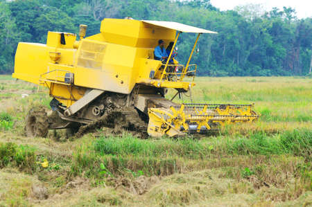 Harvesting paddy with harvesting machine on ripe paddy field