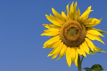 stinger: Sunflower series Stock Photo