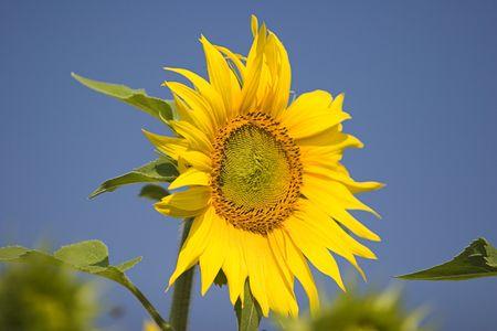 stinger: Sunflower series Stock Photo