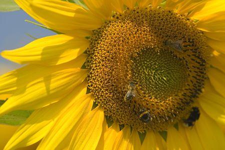 stinger: Sunflower series...