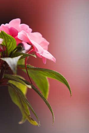 daisys: Pink flower
